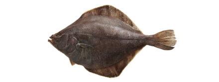 Sole (Flounder)