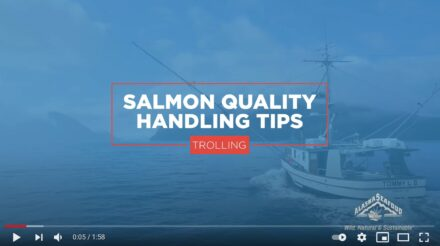 Salmon Quality Handling Tips for Trolling