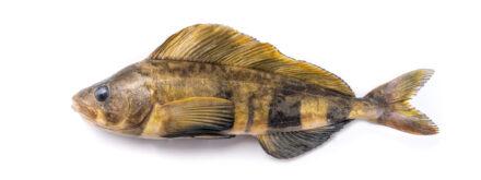 Atka Mackerel 3