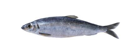 Atka Mackerel 4