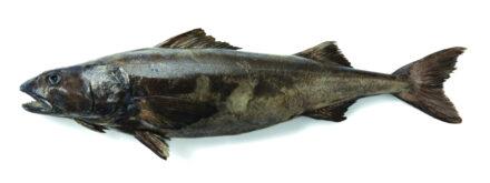 Atka Mackerel 5