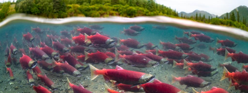 sockeye salmon swimming underwater